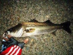 貝塚 一週間ぶりの釣行でシーバス65cm
