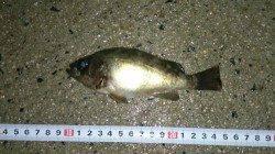 間人 探り釣りでメバル狙い キープサイズは2匹