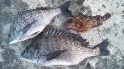 濱ノ瀬漁港 フカセ釣りでチヌ〜38cm アイゴのバラシも