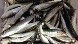 印南港でサビキ釣り、マイワシが大漁です♪