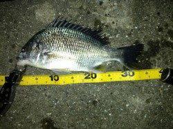 舞洲 釣りガールもチニングでキビレ36cmゲット☆