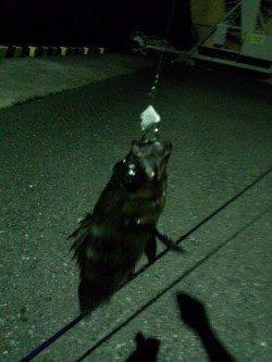千歳 シーバス狙いの釣行もボトムでメバル23cmがヒット