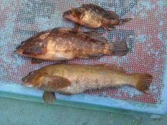 アイナメにアコウ、シラサで根魚!旧の赤灯台