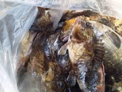 沖の一文字で探り釣り、ガシラ・グレの釣果