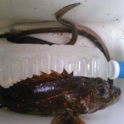 妻鹿漁港 投げ釣りでアナゴ2匹・ウキ釣りでガシラの釣果