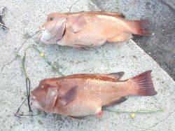 翼港でブッコミ釣り、カンダイがコンスタントに釣れました!