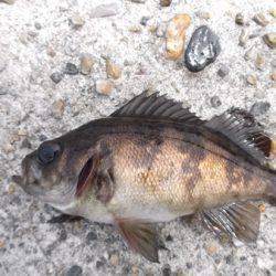 本荘人工島 探り釣りでメバル・ガシラ・アイナメなど7目釣り