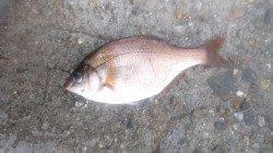 伊保港 雨中の探り釣りでメバル・ウミタナゴなど