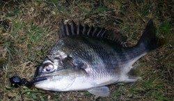 淀川 チヌも釣れています♪