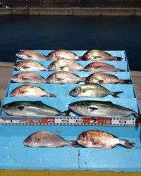 マリーナシティ海洋釣り堀、マダイ12匹と好釣でした♪