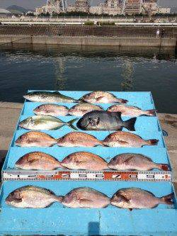 マリーナシティ海洋釣り堀 マダイに青物に賑わってます☆