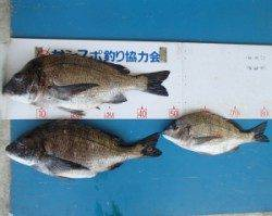 佐波賀道路沿いでチヌ49cmを頭に3匹の釣果