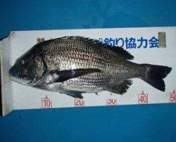 佐波賀地磯 フカセでチヌ〜50.2cmの釣果