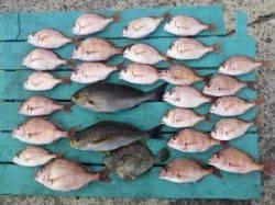 沖一文字、カゴ釣りでチャリコ、イサギにカワハギも混じっています