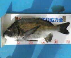 親海公園 フカセでチヌ52.8cm