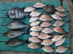 神谷一文字 カゴ釣りでイサギ、マダイなどの釣果