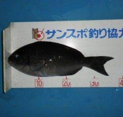 舞鶴田井の磯 フカセでグレ〜37cm3匹