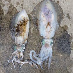 湯浅の磯 ヤエンでアオリイカ〜2.19kgの釣果