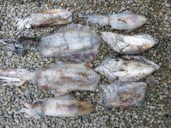 湯浅の磯 ヤエン&ウキ釣りでのアイリイカ釣果