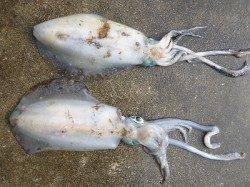 湯浅の磯 ヤエンでアオリイカ〜2.45kgの釣果