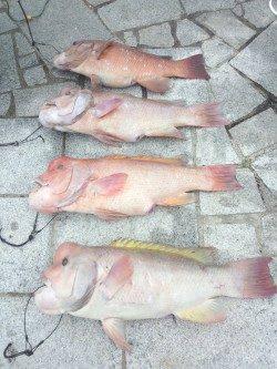 翼港でのブッコミ、カンダイの釣果