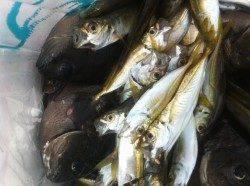 今日【22日】も加太で好釣果が出ています♪