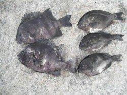 南芦屋浜タコ好調♪サンバソウも釣れてます!
