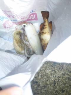 伊根エリア仕事終わりにエギング、シロイカの釣果