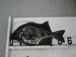 見老津 地磯で小粒ウニを使用してイシダイ57cm