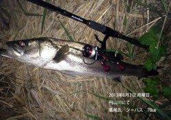 円山川で78cmのシーバスの釣果☆