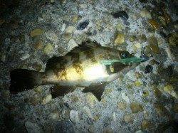 江井ヶ島で短時間、メバリング釣行