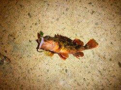 新浜漁港で湾内でライトゲーム、数釣りが楽しめました
