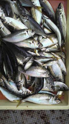 沖一文字北でのサビキ釣り 24cmのナイスサイズ鯵♪