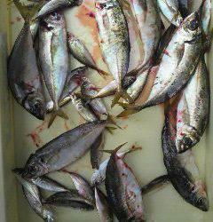 沖一文字北でサビキ イイサイズのアジが釣れています