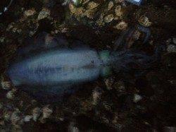 田辺沖磯、イカのウキ釣りで初めてのキロアップ♪