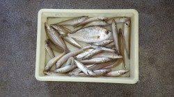 埴田漁港、アオイソメをエサに投げ釣り、キス・クロサギの釣果☆