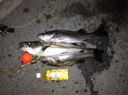 大阪南港でウキ釣り、ハネ3本GET!