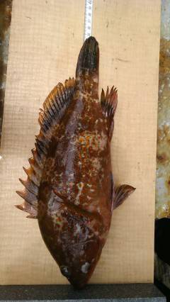 高級魚アコウに20cm前後の良型メバル〜沖の一文字〜