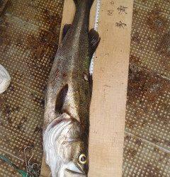 エビ撒き釣りで良系ハネ★68・58cm★