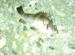 谷川 メバリングでメバル3匹 1匹は田尻漁港での釣果