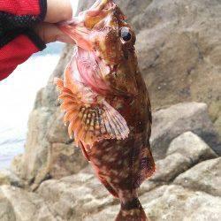 竹野磯、デイエギング釣果とワームでガシラの良型!
