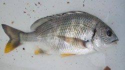 南塩谷 小サバの猛攻もフカセでキビレ32cm 紀州釣りではチヌの姿も