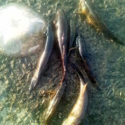 淀川河口 ウキ釣りでカワアナゴ&ウロハゼ3匹