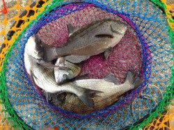 田村漁港 紀州釣りでチヌ3匹グレ1匹 サビキのアジは大漁