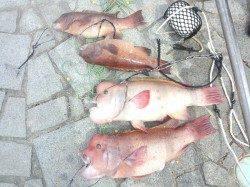 翼港 朝方のブッコミ釣りでカンダイ4匹
