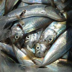 アジュール舞子 朝6時〜4時間のサビキ釣りでアジ200尾 グレやカレイの姿も