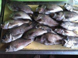 淡輪、約2時間でメバル15匹の釣果★