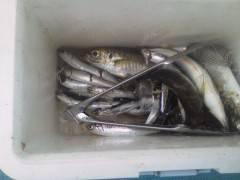 沖の北でサビキ、良型のアジも釣れ出しています。