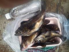 沖の北でウキ釣り、メバル・ガシラの釣果