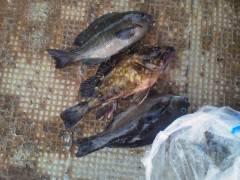 岸和田一文字 ウキ釣りでグレ&ガシラの釣果